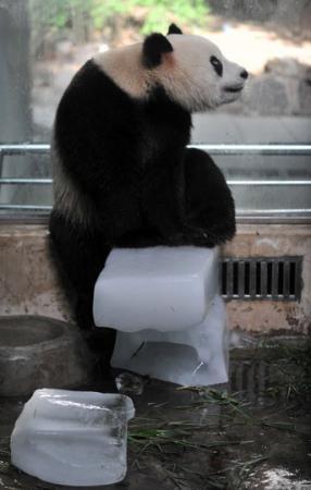 """武汉动物园的大熊猫""""希望""""用冰块"""""""