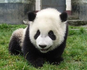 壁纸 大熊猫 动物 364_294