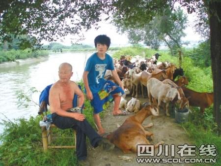 六旬老人做都市牧羊人