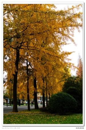 冬季的银杏树;; 成都电子科大校园图片图片;