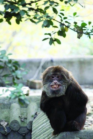 龇牙咧嘴的猴子
