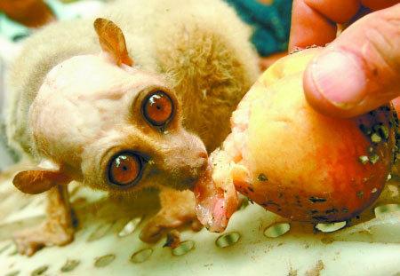 怪物懒猴在香甜地吃桃