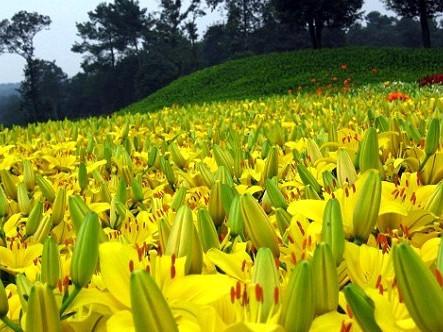 石象湖百合花