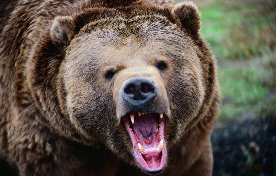 凶猛熊的卡通图片
