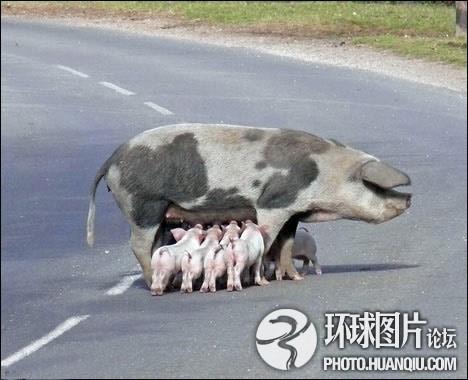 英国一母猪在马路上喂奶造成交通堵塞