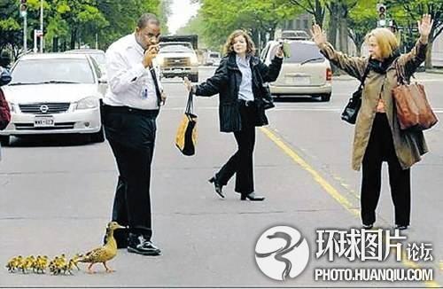 美国女子不惜违反交通规则为鸭子过马路护驾
