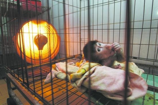 成都动物园动管部工作人员告诉记者,本周开始,动物园开始为怕冷的动物实施过冬取暖措施。具体说来包括,铺干草垫、使用电热膜、开取暖器、开空调等。   黑猩猩宝宝和乖乖是成都动物园猩猩馆的主人,今年6岁了,在成都也待了有5年了。宝宝和乖乖的饲养员是杨瑞麟,又称猩猩奶爸。   昨日下午4时,杨瑞麟为宝宝和乖乖送去干草垫。奶爸说,干草垫是两个大家伙的床,天冷了,大家伙不能直接睡地上,而要睡在草垫上。地上冷冰冰的,换睡草垫,就热和多了。   不过,床一出现,就被两个大家伙盯上了。
