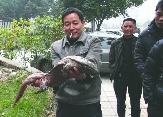 锦江边洗手 捡了条娃娃鱼
