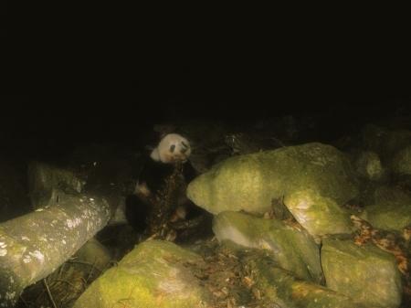 红外线相机拍到大熊猫吃牛羚肉