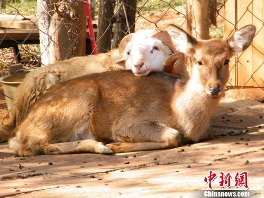 """云南野生动物园将为""""羊鹿恋""""举行结婚典礼"""