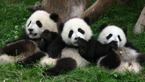 爱的大熊猫 三年级上册语文 可爱的大熊猫 练习试题及答案图片