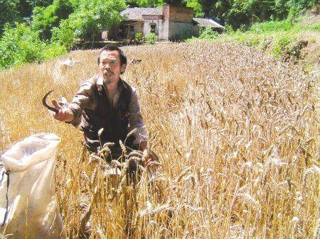 5月29日,吴光斗说:我一般坐着收割麦穗!