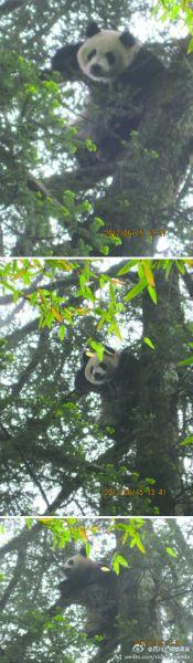 平武首次拍到野生大熊猫 趴在冷杉上躲猫猫(图)