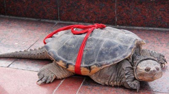 小伙捕获的乌龟