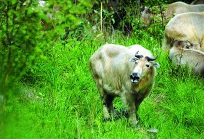 □目前在唐家河保护区境内,扭角羚的数量估计达到1400头。