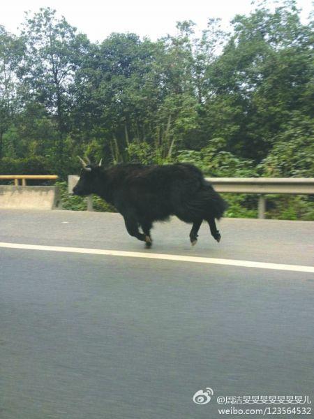 黑牦牛往温江方向奔跑 新浪微博网友@周洁旻旻旻旻旻旻旻儿供图