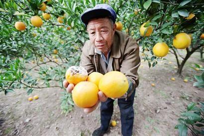 40万斤脐橙滞销