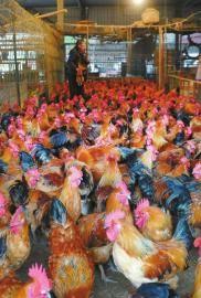 12月19日,成都三联家禽市场,在成都本地销售的肉鸡正在等待顾客挑选。