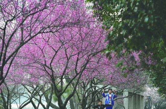 昨日,成都市万福桥附近锦江边,成片的红梅已经盛开,洋溢着春天的气息 摄影记者 王勤