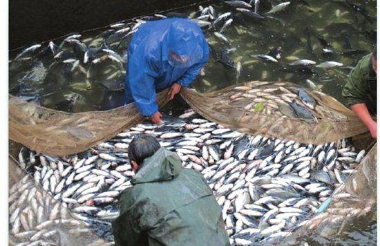 业主打捞死鱼。