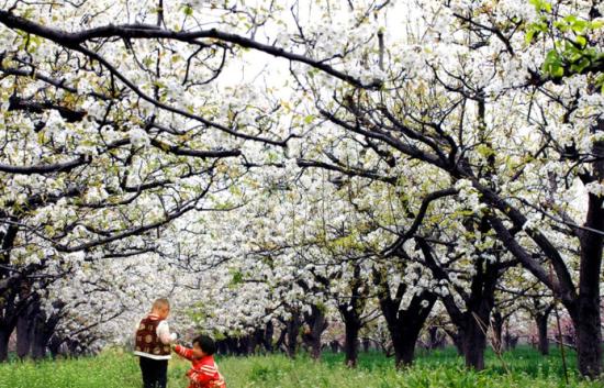 三月一夜春风来新津梨花满树开(组图)