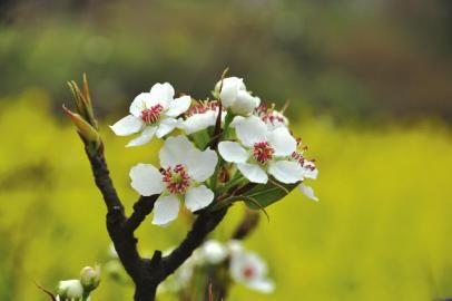 泸州丹林绽放的梨花。周瑜原 摄