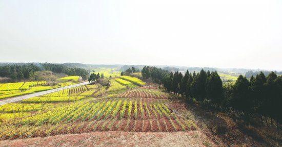 简阳芦葭,这片油菜花盛开的田地,不久后将破土修建成都新机场