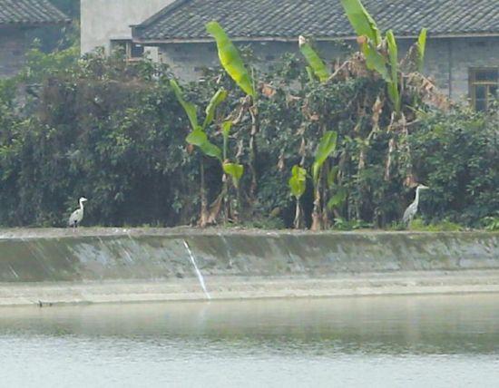 岸边有不少偷吃鱼的鸟儿。