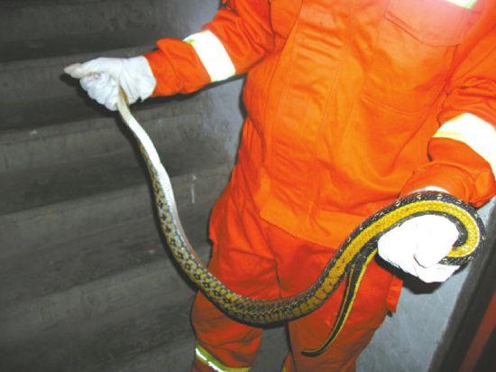 消防人员抓住了这条大蛇。