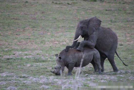发情动物的那些荒唐事:大象与犀牛交配