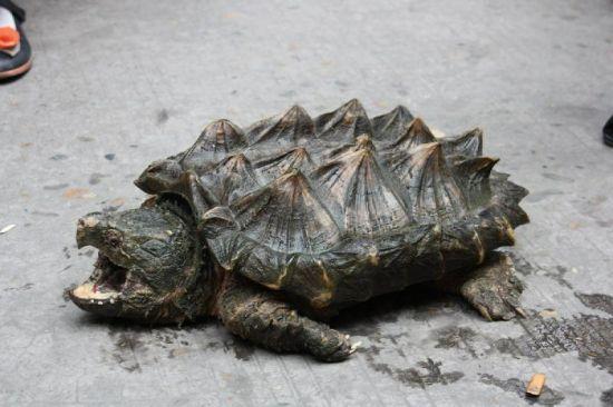 这种怪乌龟,你见过吗?