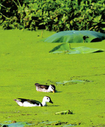 消失50余年 珍稀水禽棉凫安居成都