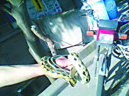 溜进田永洪家的菜花蛇被抓获 记者 龙在全 摄