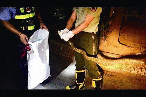消防员捉蛇装袋