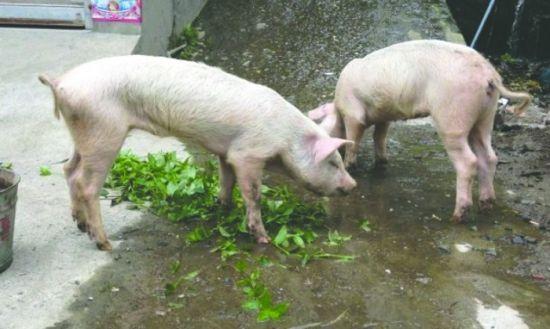 """宝兴县雪山村,昨日救出的两头""""猪坚强"""" 宝兴县文广新局供图"""