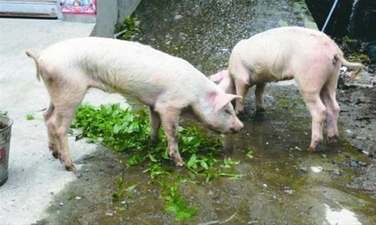 """图为:被救出的两头""""猪坚强"""""""