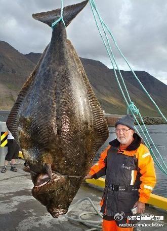 巨型比目鱼可供300人分食