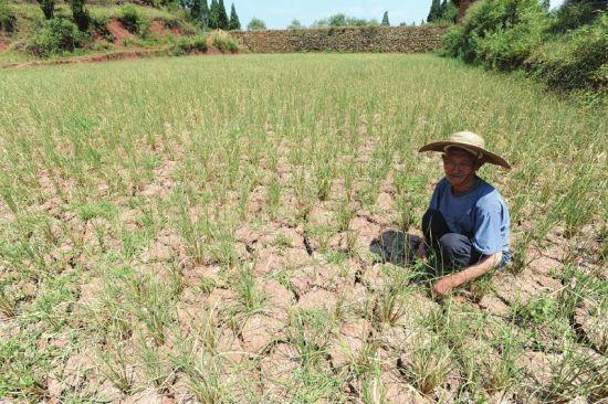 古蔺县部分乡镇水稻受灾严重。康宁 摄