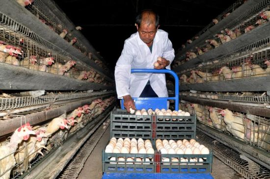 8月12日,老邓找到了一份工作,在内江一鸡场养鸡。陈志摄