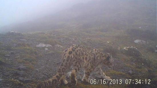 崇州鞍子河保护区的红外相机拍到的雪豹照片。(图片由保护区提供)