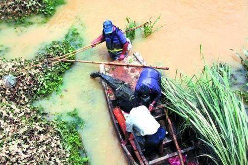村民在西湖村河溪内抓获一条出逃的鳄鱼。
