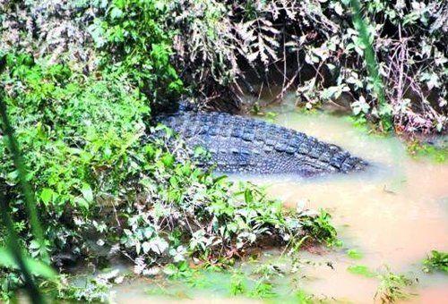养殖场的暹罗鳄。
