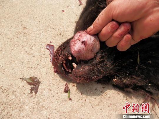 藏獒舌头上的伤口。(桦甸林业部门供图) 桦甸林业部门供图 摄