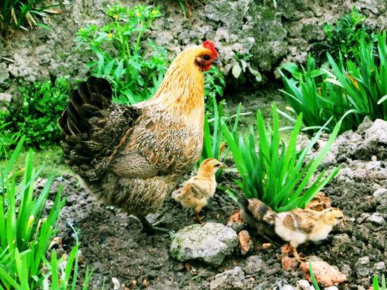 英国70万人对母鸡 一往情深 为母鸡建五星酒店 新浪四川时尚