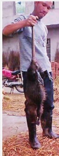 这只罕见的大老鼠,体长90厘米,重达5.1公斤
