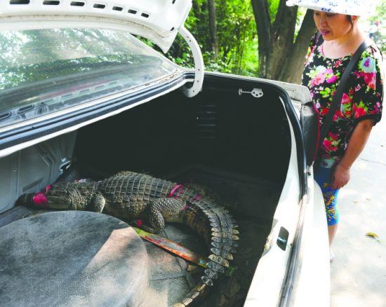 鳄鱼趴在后备箱里