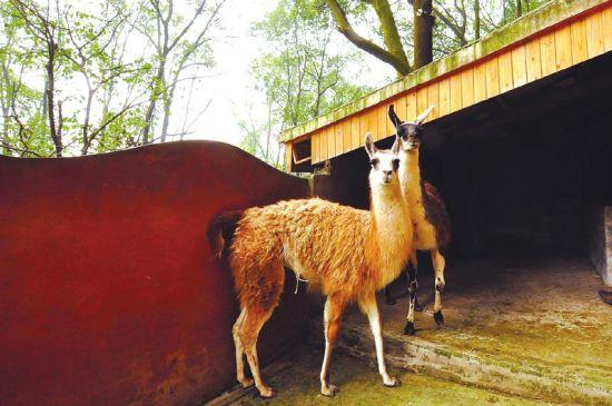 """宜宾动物园的""""草泥马""""。"""