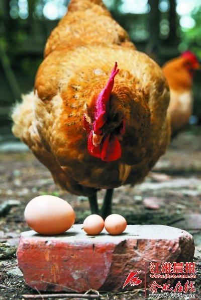 一元硬币大小的鸡蛋与正常鸡蛋对比
