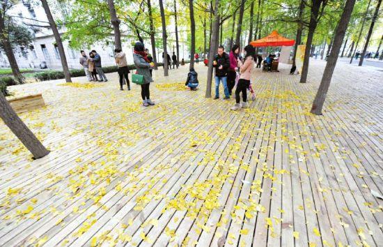电子科大内的银杏落叶,引来不少市民摄影留念。