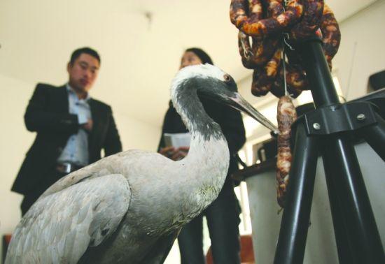灰鹤系国家二级保护动物